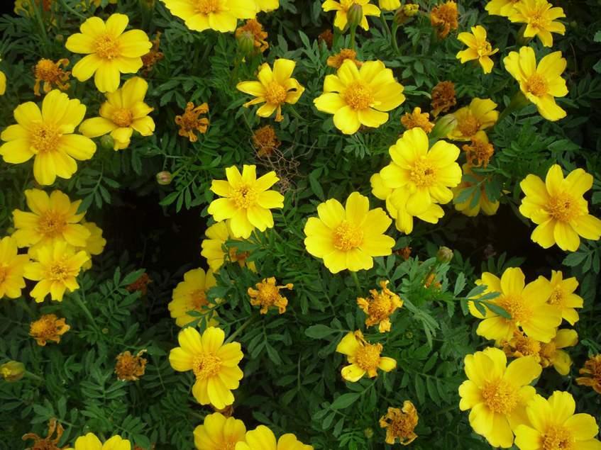 apró bársonyvirág