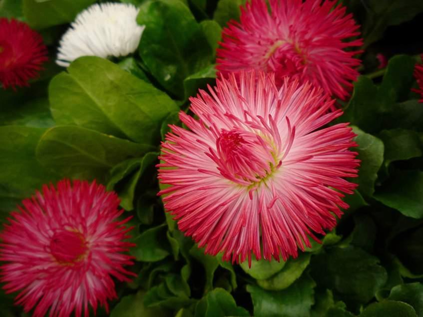 telt virágú százszorszép
