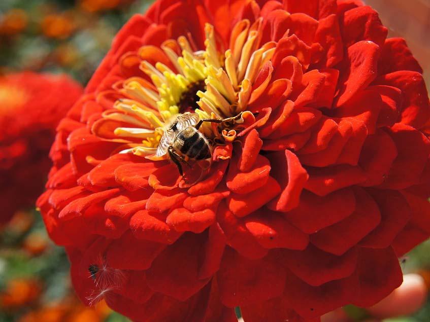 telt virágú rézvirág