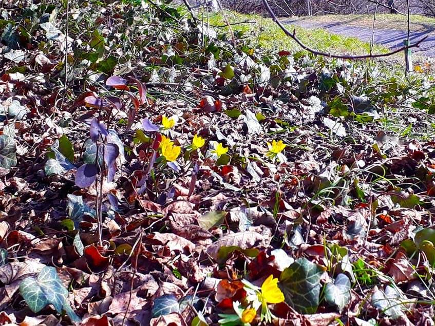 csoportosan virágzó téltemető