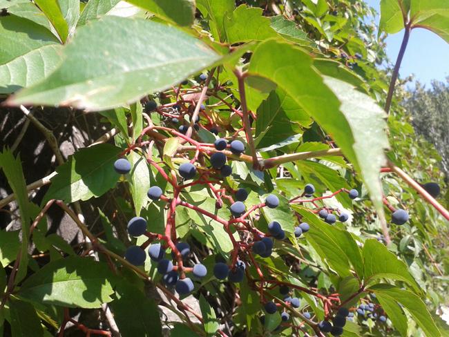 termése vadszőlő
