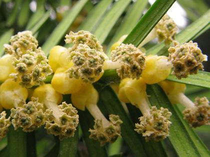 tiszafa virága
