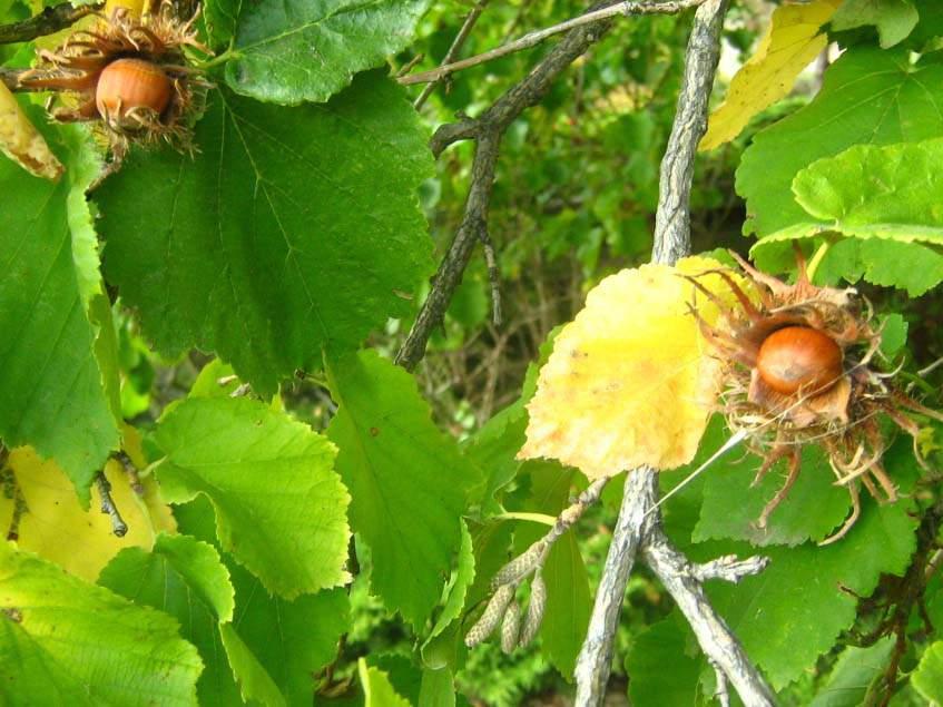terméses törökmogyoró