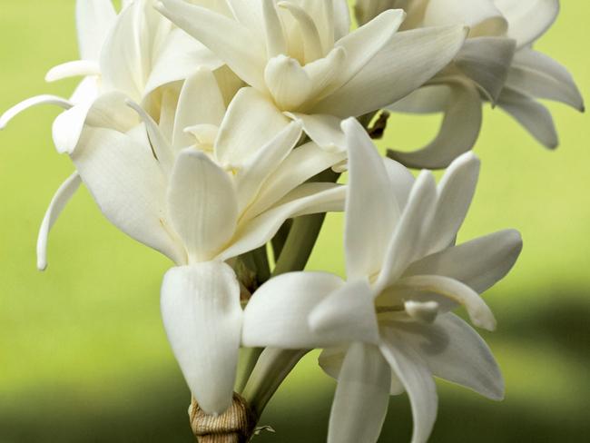 tubarózsa virágzat