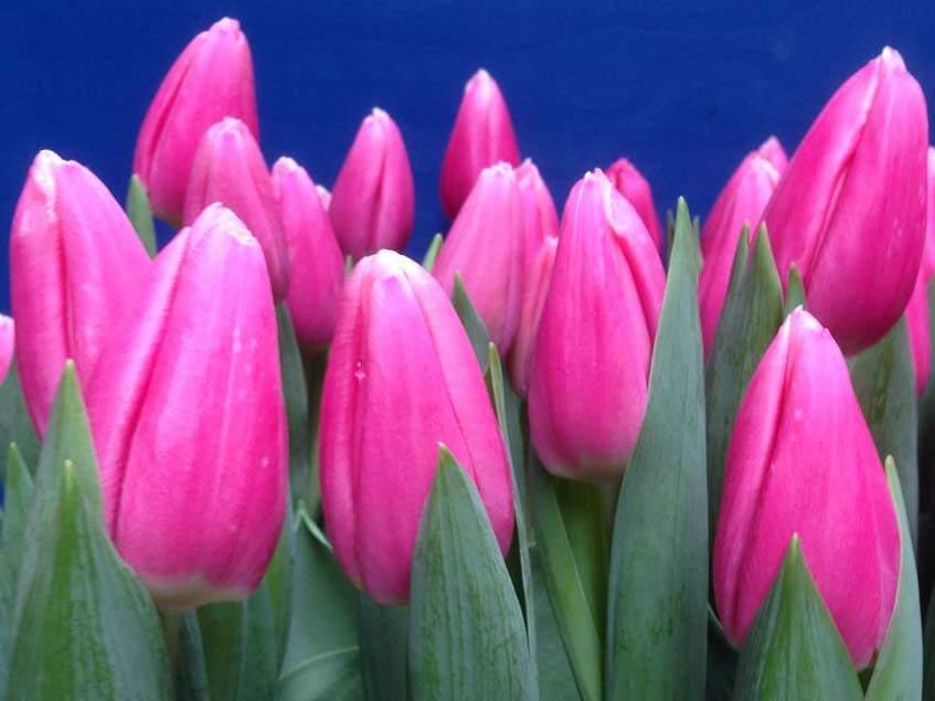 tulipa Milkshake