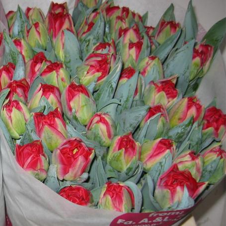 Tulipa pamplona