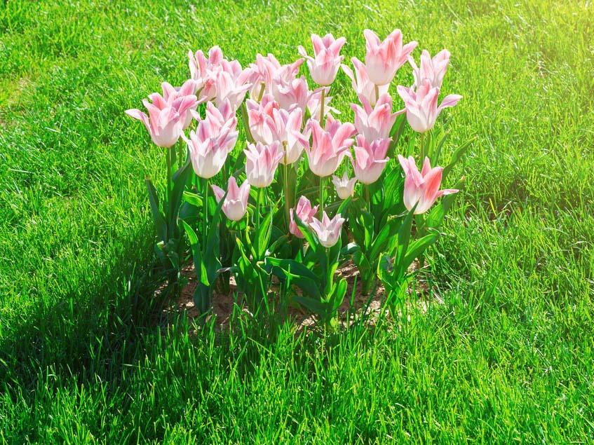 tulipán gyepben