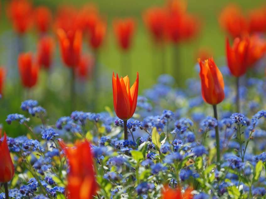 tulipán, nefelejcs társítás