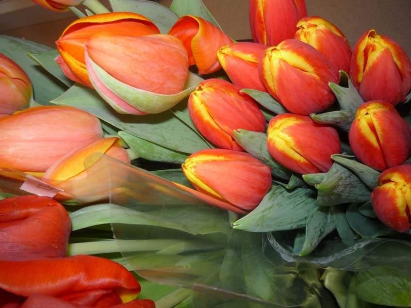 tulipán, vágott virág