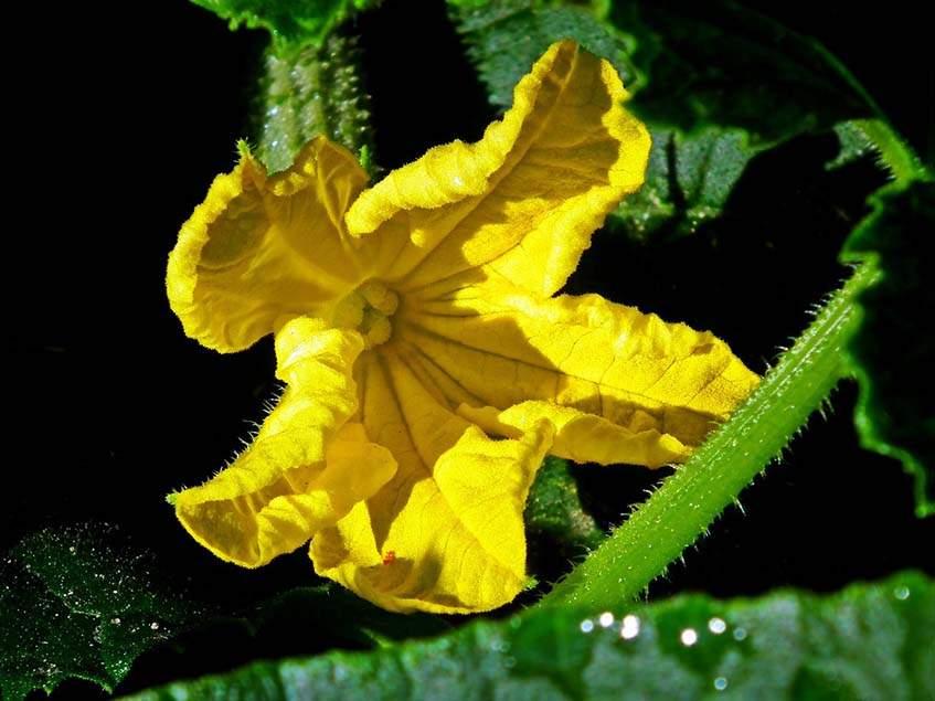 uborka termős virága