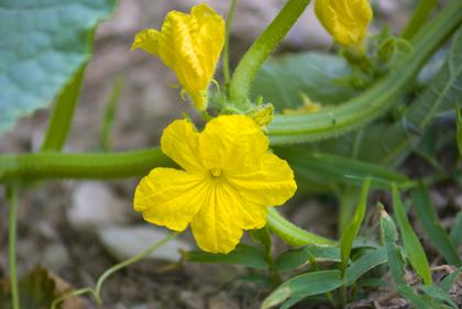 virágzó uborka
