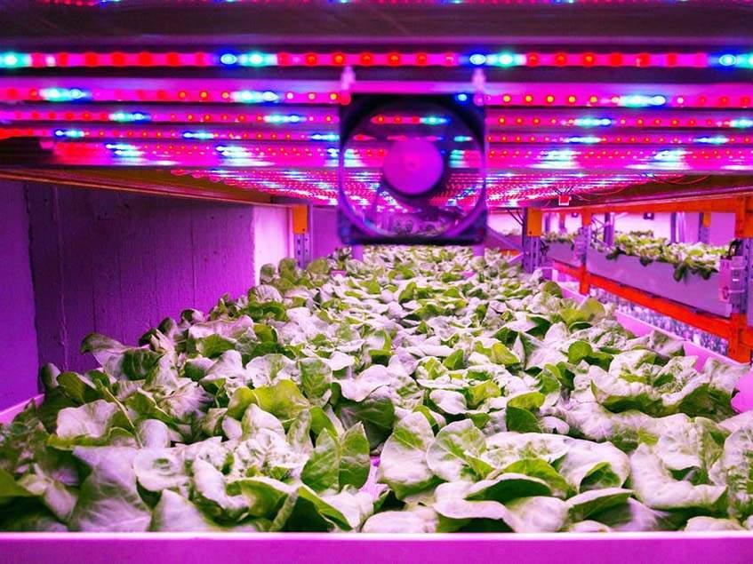 üvegházi salátatermesztés