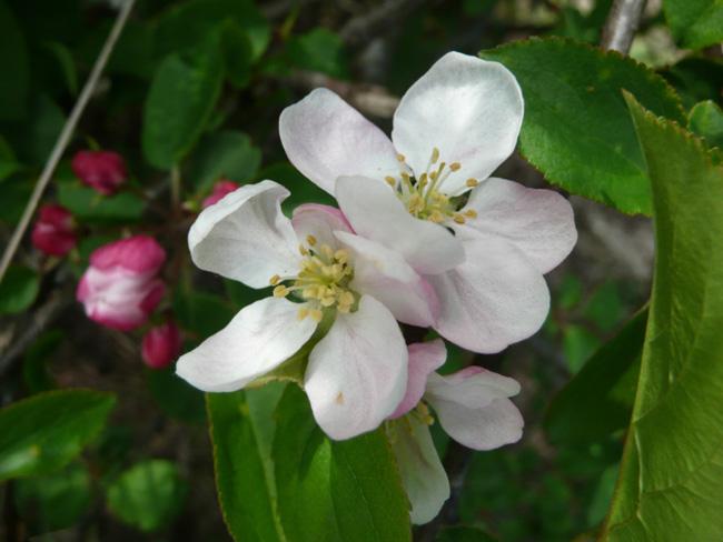 vadalma virága