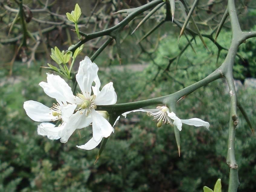 vadcitrom virága