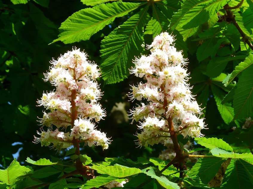 vadgesztenye virágzat