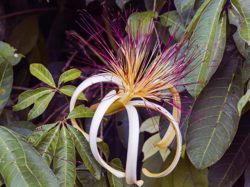 vadkakaó virága