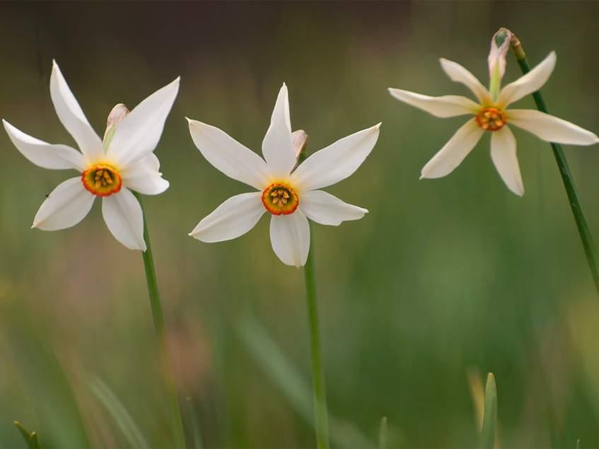 vad nárciszok