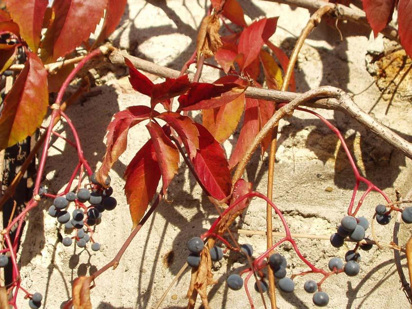 vadszőlő őszi lombja