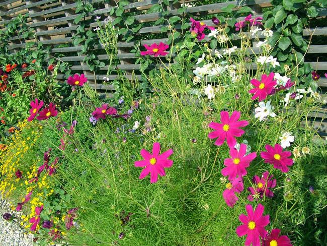 pillangóvirág kerítés tövében
