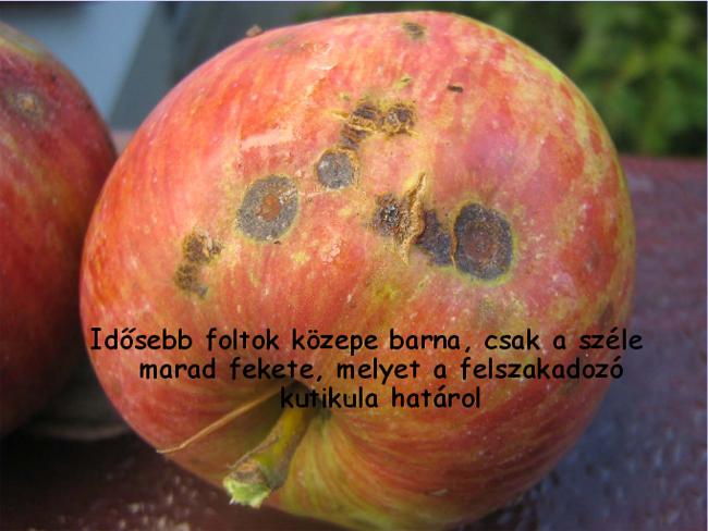 varasodás tünetei almán