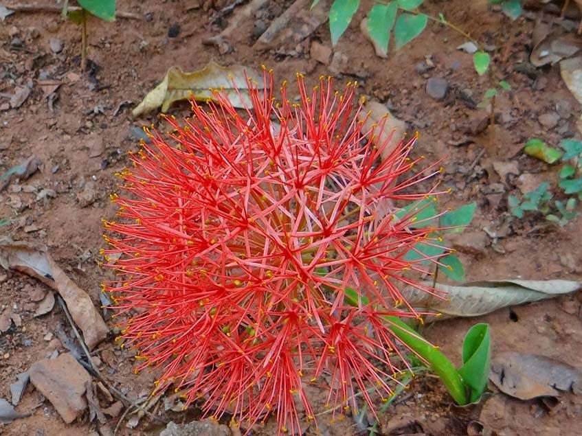 vérvirág virágzata
