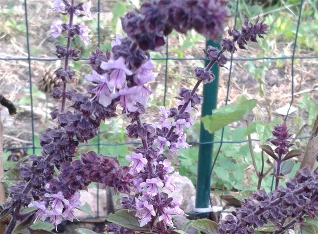 bazsaliom virágzat