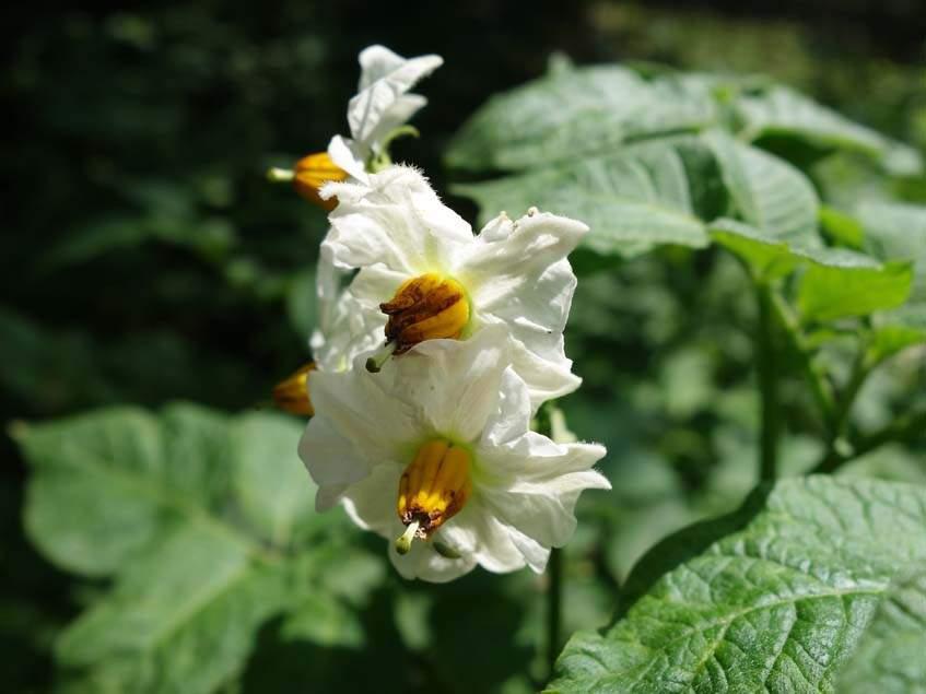 burgonya virága
