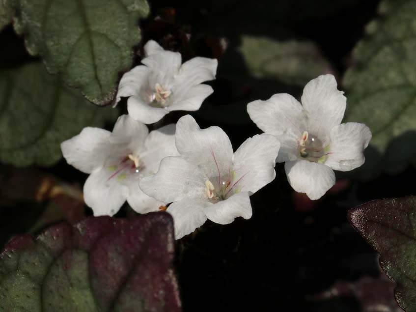 virágzó félbibe