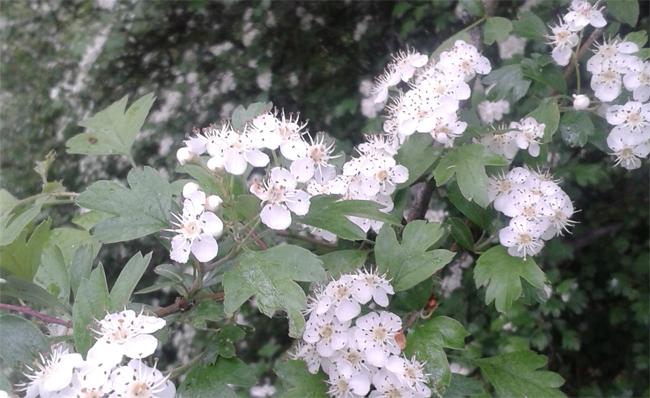 virágzó galagonya ág