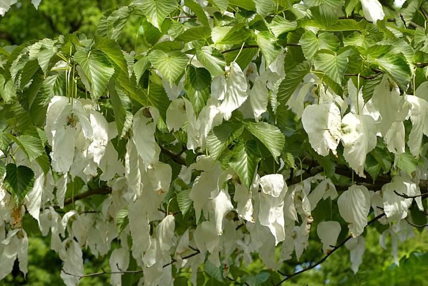 virágzó galambfa