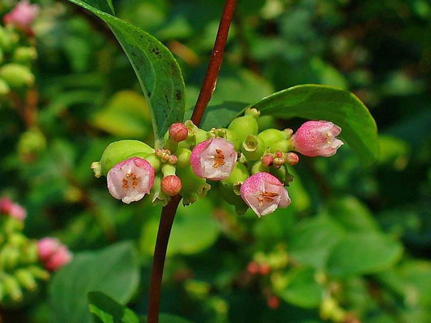 virágzó hóbogyó