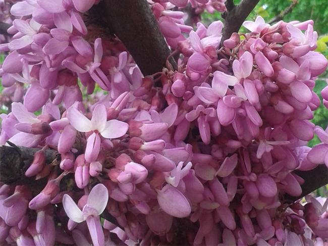 virágzó júdásfa