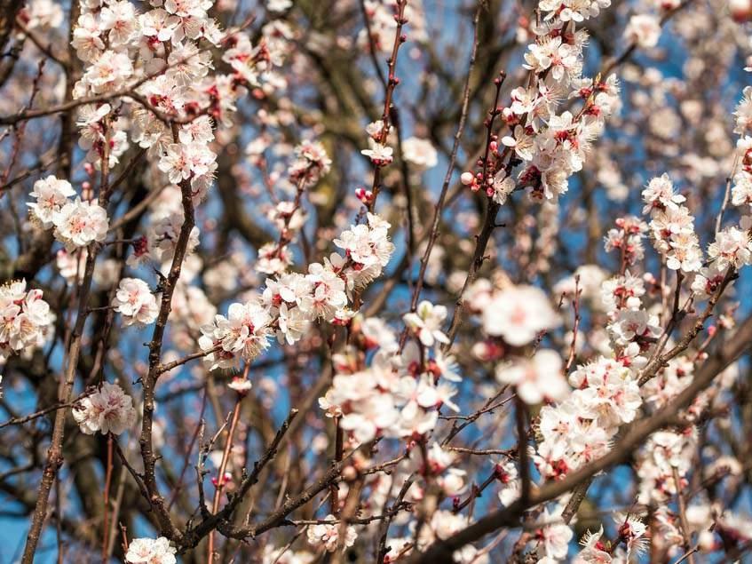 virágzó kajszifa