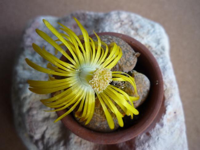 virágzó Lithops