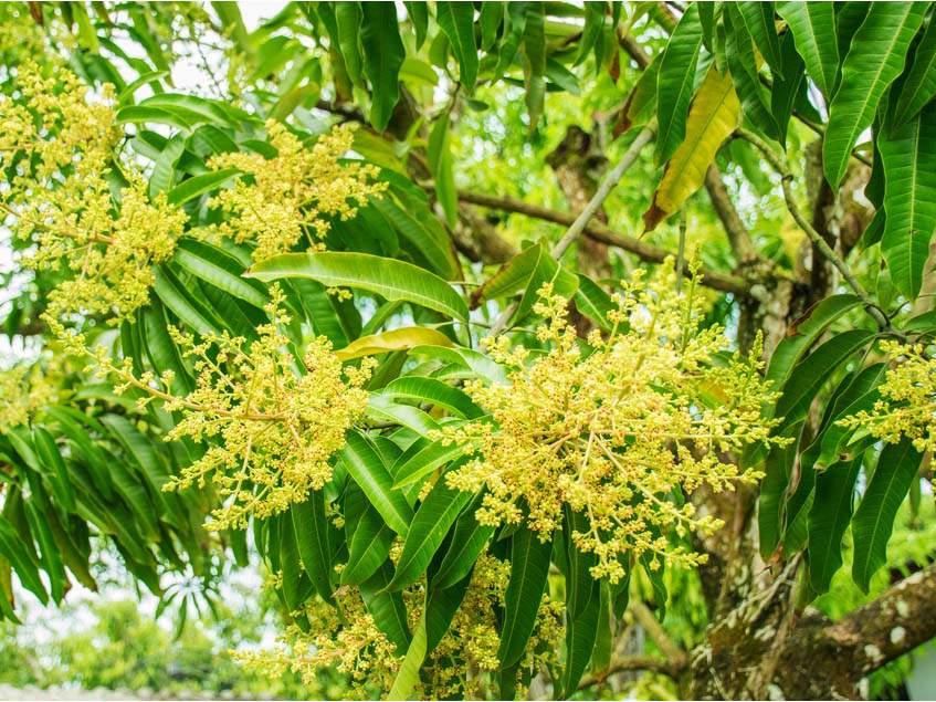 virágzó mangó