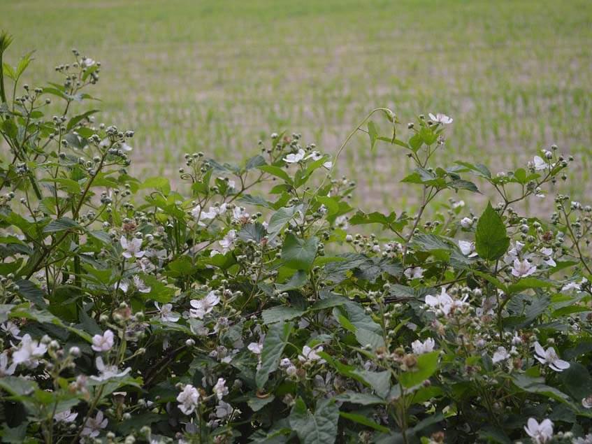 virágzó szeder