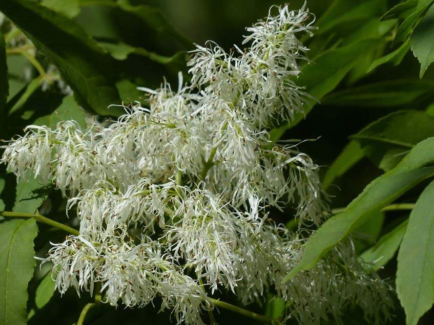 virágos kőris virágzata