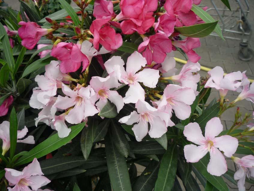 virágzó leanderek