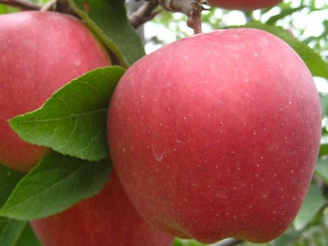 vörös alma