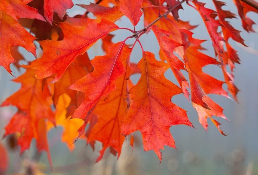 vörös tölgy őszi lombja