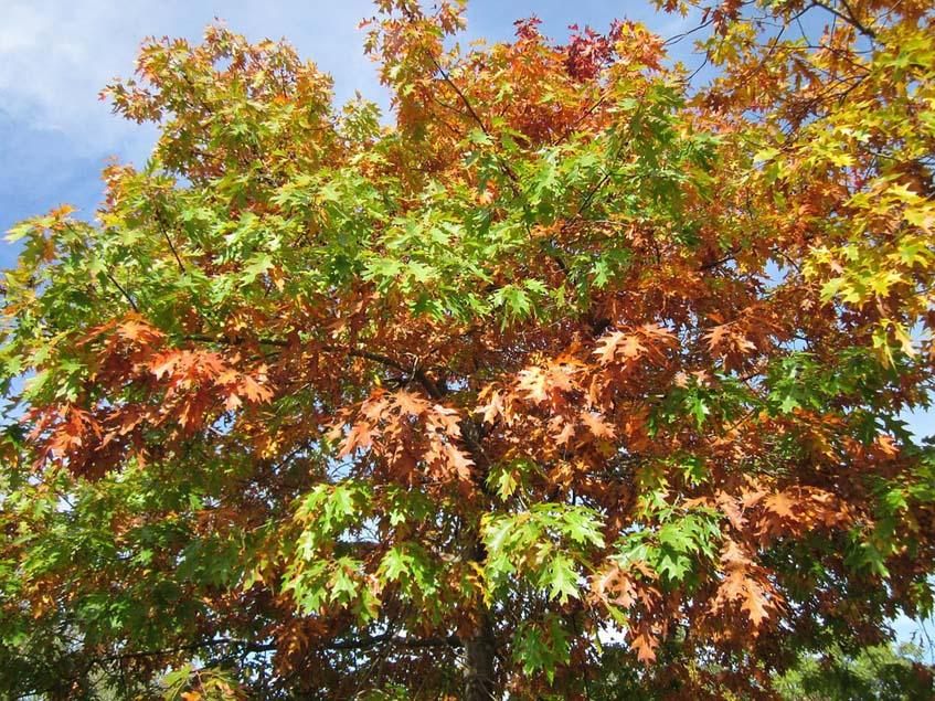 vörös tölgyfa ősszel