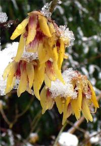 tündérfa havas virágai