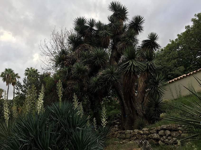 jukkák a palermói botanikuskertben