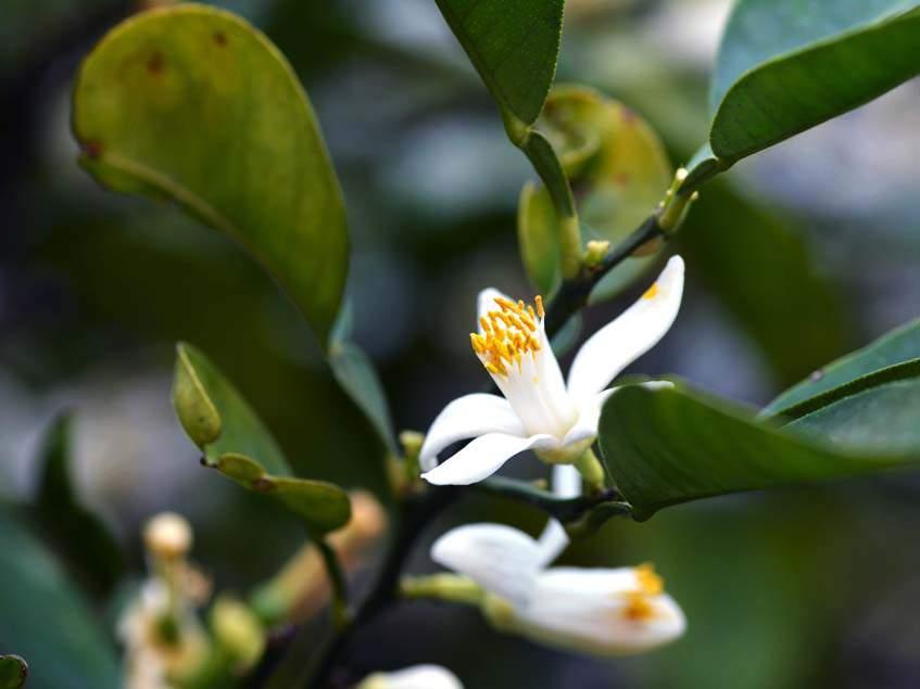 yuzu virága