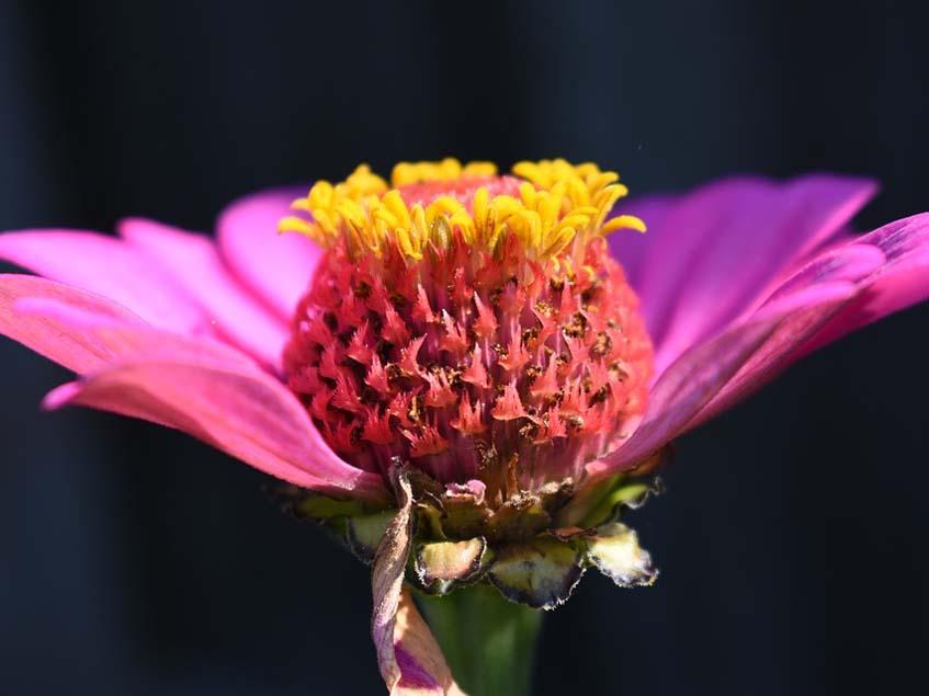 rézvirág virágfelépítése