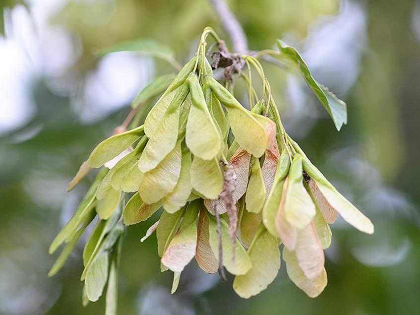 zöldjuhar termése